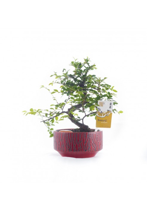 Bonsai interior 25 cm