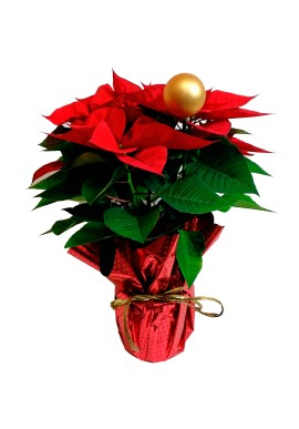 Poinsettia Decorada