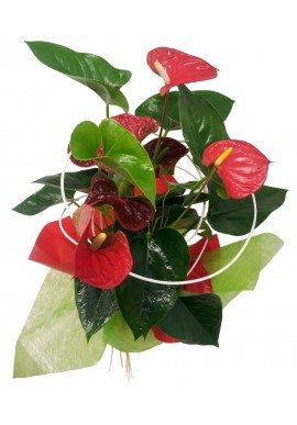 ANTHURIUM DECORADO 55